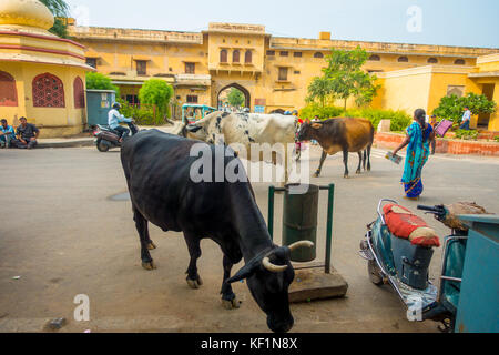 JAIPUR, INDIA - SEPTEMBER 19, 2017: Cow walks indifferent, amidst the traffic of cars and motorbikes of the city - Stock Photo