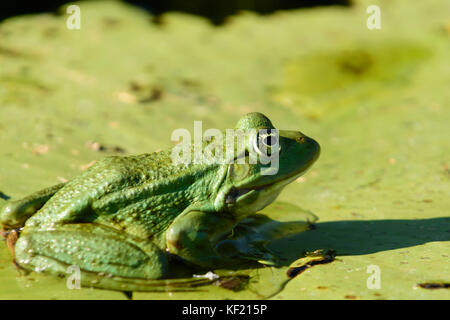 Danube Delta in Romania:: Pool Frog (Rana lessonae) - Stock Photo