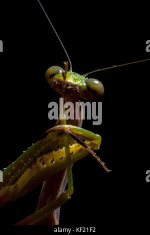 Mantis, macro photography common green mantis or pray mantis isolated on black background. - Stock Photo