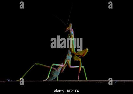 Mantis, macro photography common green mantis or pray mantis isolated on black background. - Stock Photo