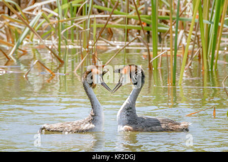 Two great crested grebes dancing during mating season in their winter plumage. - Stock Photo
