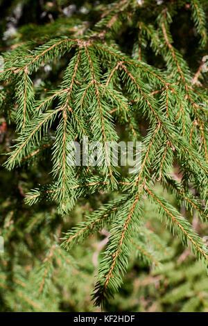 Statiunea Muntele Băișorii (Mountain resort Băişorii) - Norway Spruce (Picea abies) - Stock Photo