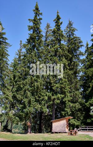 Statiunea Muntele Băișorii (Mountain resort Băişorii) - Norway Spruce (Picea abies) surrounding peaceful picnic - Stock Photo