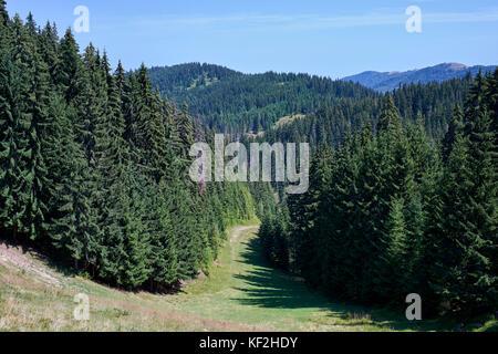 Statiunea Muntele Băișorii (Mountain resort Băişorii) - Norway Spruce (Picea abies) lining the ski slope - Stock Photo