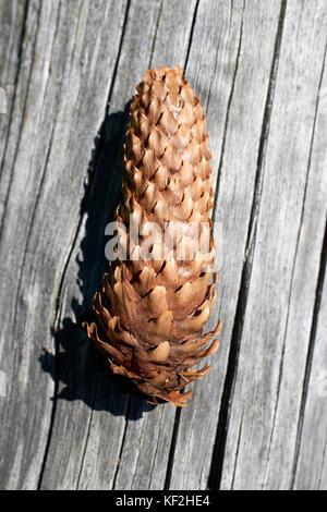 Statiunea Muntele Băișorii (Mountain resort Băişorii) - Norway Spruce (Picea abies) fallen dry cone - Stock Photo