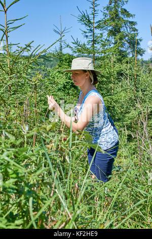 Statiunea Muntele Băișorii (Mountain resort Băişorii), young woman (Flavia) picking wild raspberries in the woods - Stock Photo