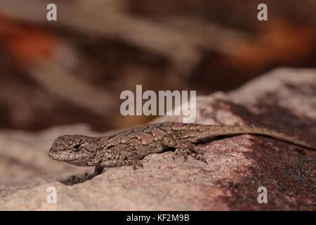 Baby Eastern Fence Lizards Sceloporus Undulatus Stock Photo