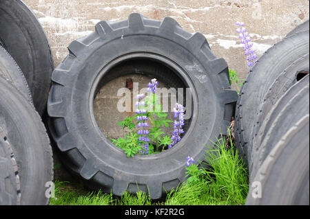 Abandoned discarded automobile tyres on stone wall background with lupine flowers growing up through the centre - Stock Photo