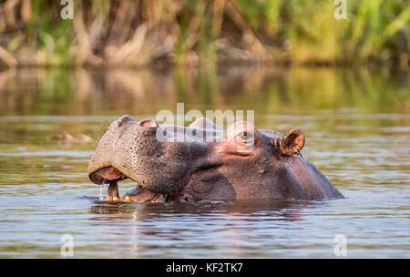 Hippo in a river in the Caprivi Strip, Namibia - Stock Photo