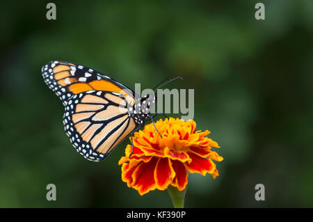 Monarch butterfly Danaus Plexippus  male on a flower - side view - Stock Photo