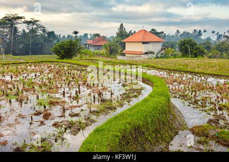 Rice paddy along the Campuhan Ridge Walk. Ubud, Bali, Indonesia. - Stock Photo