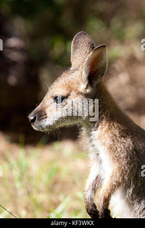 Hand-reared female Red-necked Wallaby joey (Macropus rufogriseus) approx. 9 months old standing. Eungella. New South - Stock Photo