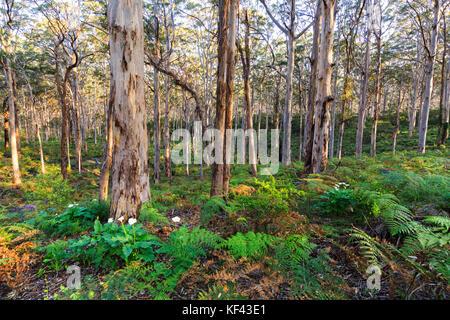 Karri trees growing in Boranup Forest in Leeuwin Naturaliste National Park. Near Margaret River, Western Australia - Stock Photo
