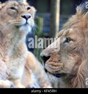 Lion and lioness. Asiatic lions portrait. Male on foreground side view and female on background. - Stock Photo