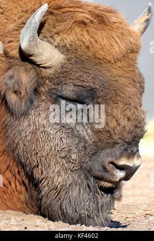 Wisent (Bison bonasus) also know as European bison or the European wood bison. - Stock Photo