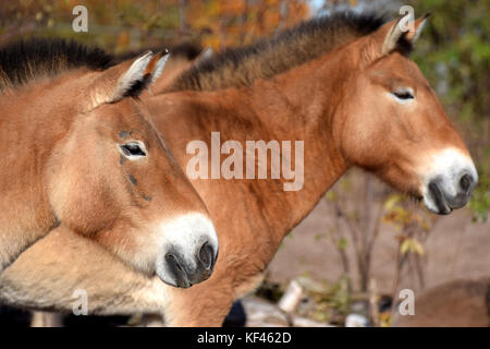 Przewalski's horses side view. Also know as Mongolian wild horse. - Stock Photo