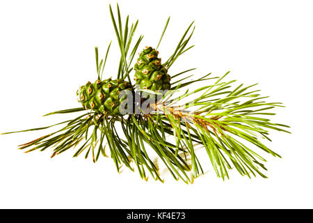 Christmas decoration - bunch of pine tree with cones isolated on white background. - Stock Photo