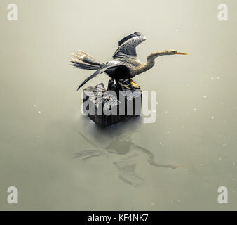 Biguatinga bird with open wings drying on the sun over a tree stump surrounded by water of a lake in Pantanal, Brazil. - Stock Photo