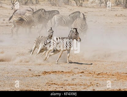 Zebra stallions fighting in the Namibian savanna - Stock Photo
