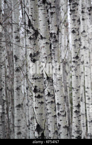 Looking at a patch of birch tree trunks. - Stock Photo