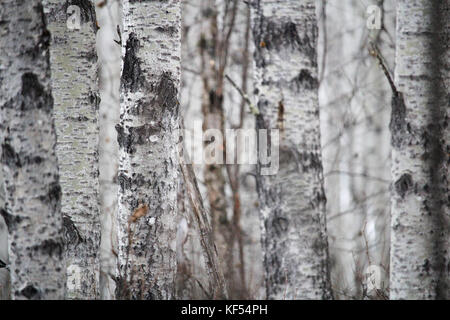 Closeup of a tree trunk in a birch forest. - Stock Photo