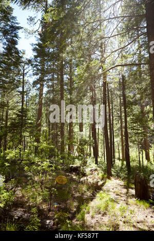 Copse of young pine trees in a plantation with sunlight on the vegetation on the floor penetrating between the tall - Stock Photo