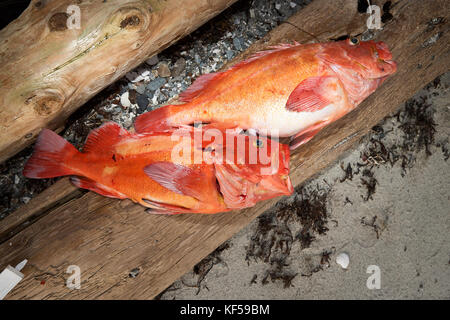 Two freshly caught red snappers lying on piece of wood - Stock Photo