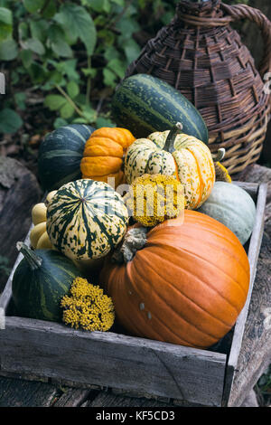 Pumpkins and gourds in a wooden box on display at Weald and Downland open air museum, autumn countryside show, Singleton, - Stock Photo