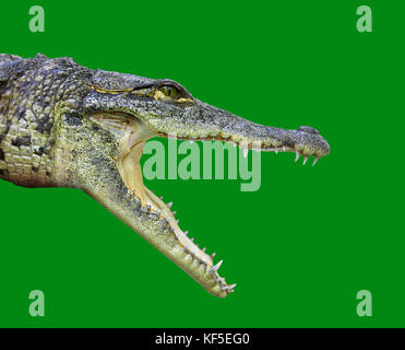 Crocodile young provile view from Mexico open mouth on green background - Stock Photo
