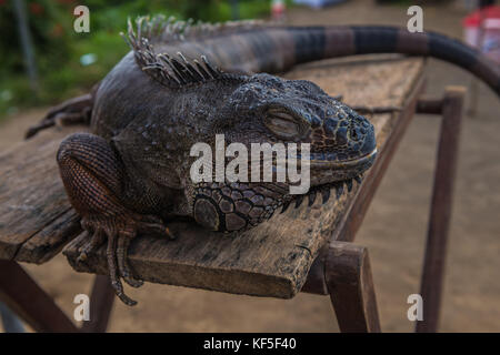 the varan rests on the table. Close-up lizard. - Stock Photo