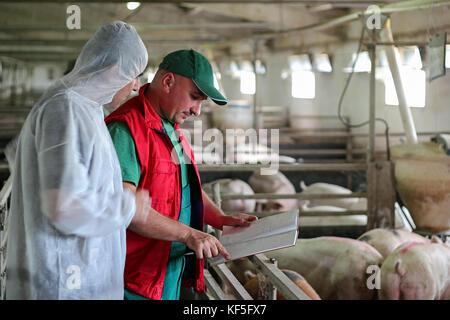 Veterinarian doctor examining pigs at a pig farm. Intensive pig farming. Pig farm worker. - Stock Photo