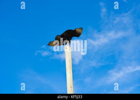 Zopilote buzzard bird in San Martin at Cozumel island of Mexico - Stock Photo