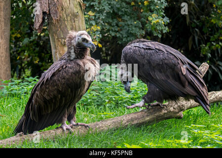 Cinereous vulture / monk vulture / Eurasian black vulture (Aegypius monachus) couple - Stock Photo