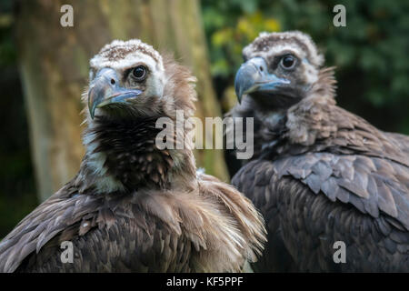 Cinereous vulture / monk vulture / Eurasian black vulture (Aegypius monachus) close up of couple - Stock Photo