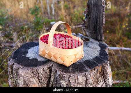 Small basket full of red bilberry standing on a stump in forest - Stock Photo