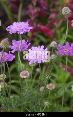 Scabiosa 'Vivid Violet' flowers. - Stock Photo