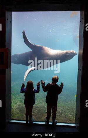 USA, Alaska, Seward, children gazing at a 1500lb sea lion inside of the Alaska SeaLife Center - Stock Photo