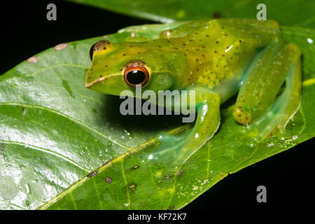 Rhacophorus dulitensis, the jade tree frog is undoubtedly one of the most beautiful frogs in Borneo.  However they - Stock Photo
