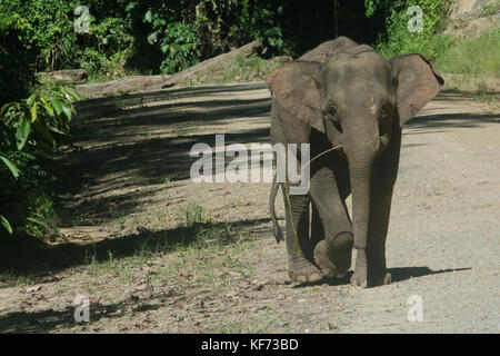 A young Bornean pygmy elephant, endemic to Borneo, runs on a road passing through the forest. - Stock Photo