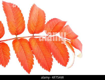 Orange autumn rowan leaves branch isolated on white background. - Stock Photo