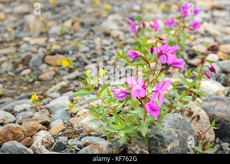 Chamaenerion latifolium fowers in Aktru valley. Altai Republic, Siberia. Russia - Stock Photo