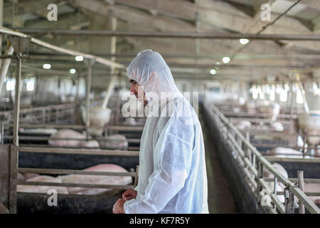 Veterinarian doctor wearing protective suit.  Intensive pig farming. Pig farm worker. - Stock Photo