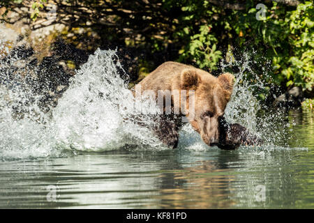 USA, Alaska, Redoubt Bay, Big River Lake, a brown grizzly bear catching fish in the waters near Wolverine Cove - Stock Photo
