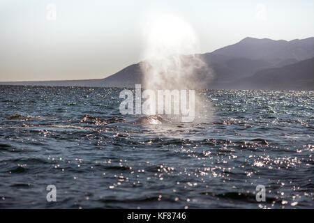 MEXICO, Baja, Magdalena Bay, Pacific Ocean, a grey whale seen while out whale watching in the bay - Stock Photo