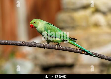 Rose-ring Parakeet - Stock Photo
