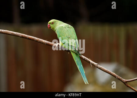 Rose-ring Parakeet - Stock Photo