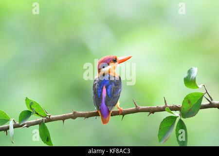 Oriental Dwarf Kingfisher - Stock Photo