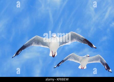 flock of Silver Gulls, (Chroicocephalus novaehollandiae), in flight, Byron Bay, New South wales, Australia - Stock Photo