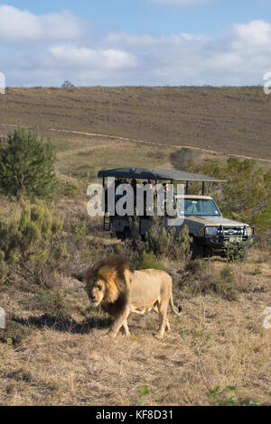 People on game drive watching lion, Botlierskop Private Game Reserve, Western Cape, South Africa - Stock Photo
