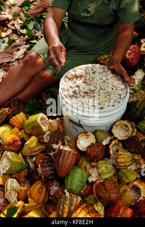 BELIZE, Punta Gorda, Toledo District, farming Cacao with the Peck and Mes families in the Maya village of San Jose - Stock Photo